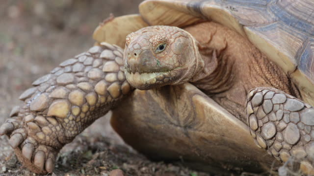 close up big african spurred tortoise or sulcata tortoise - turtle shell stock videos & royalty-free footage