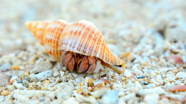 close up: big and colorful hermit crab - crab stock videos & royalty-free footage