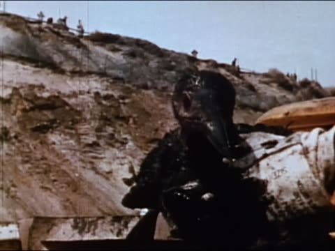 1970 close up bird covered in oil being held - oil spill stock videos & royalty-free footage