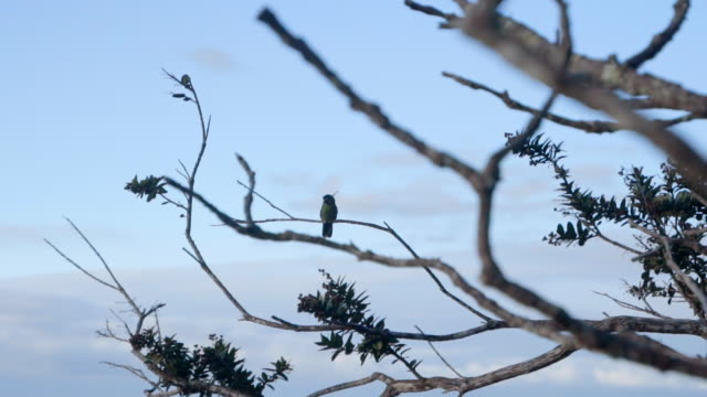 vidéos et rushes de close up: bird sitting on bare tree branch with blue sky behind in chapada, brazil - bare tree