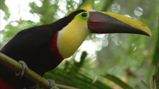 Close up black and yellow keel-billed toucan in tree / looking around / Sarchi, Costa Rica