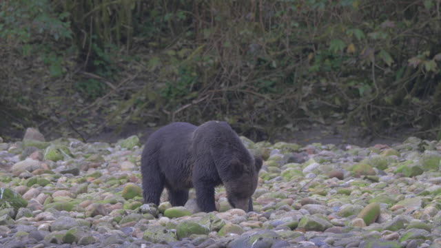 Close Up: Black Bear Digging in Mossy, Rocky Shore