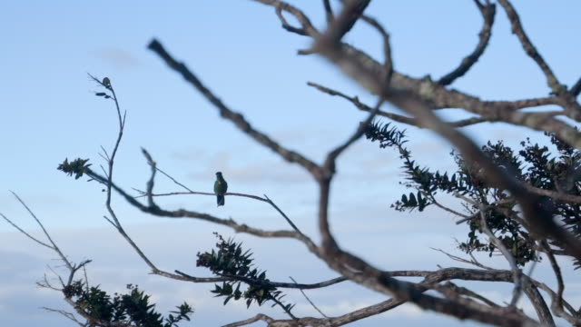 vidéos et rushes de close up: black bird sitting on bare tree branch with blue sky in chapada, brazil - bare tree