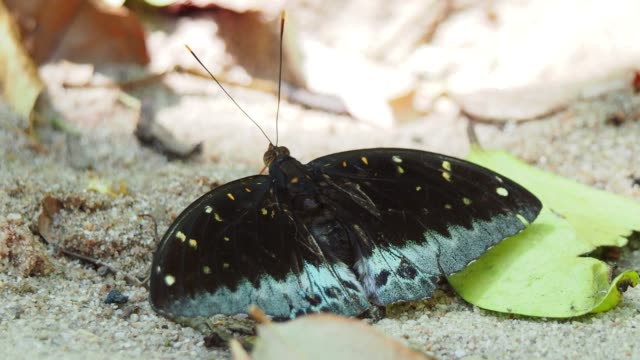close up black butterfly with blue markings on wings feeding from the sand. common archduke butterfly - spread wings stock videos & royalty-free footage