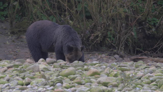 Close Up: Black Grizzly Bear Calmly Searching Through Mossy Rocks