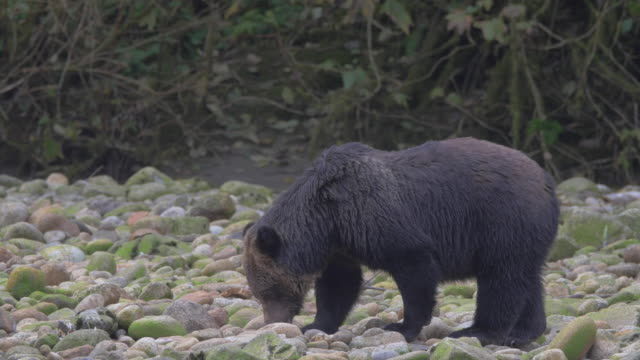 Close Up: Black Grizzly Bear Searching Through Mossy Rocks, Bird Overhead