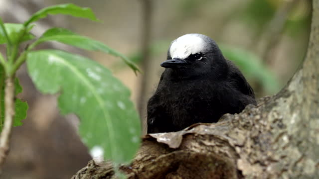 Close up Black noddy chick in tree