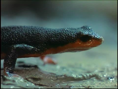 close up black salamander with orange belly walking - salamander stock videos and b-roll footage