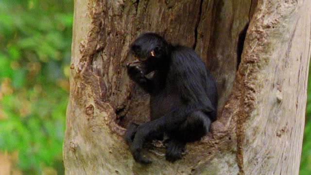 close up black spider monkey sitting in tree eating + scratching / manu, peru - south america stock videos & royalty-free footage