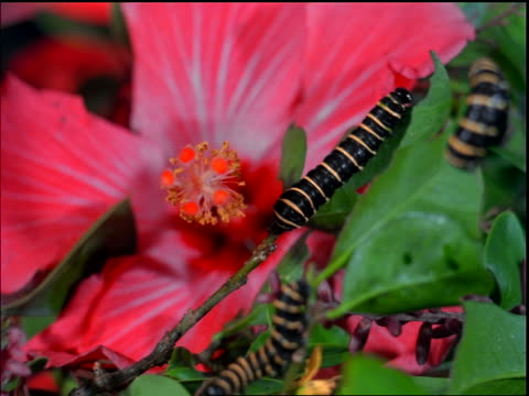 vídeos de stock, filmes e b-roll de close up black + yellow caterpillars crawling up flower stem / brazil - estame