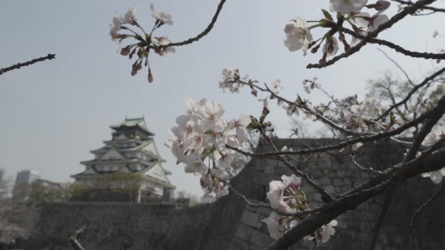 close up, bloomed cherry blossom flowers outside osaka castle - temple building stock videos & royalty-free footage