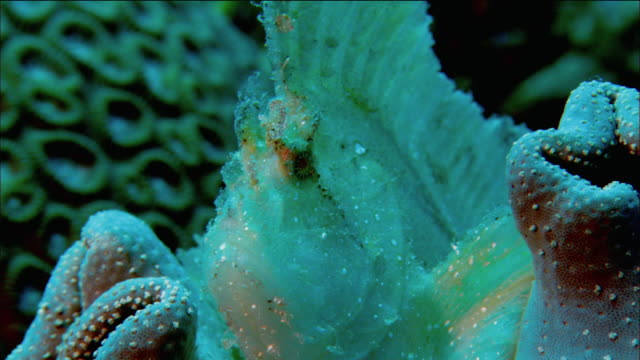 Close up blue leaf fish resting in soft coral / opening and closing mouth / Coral Sea / Australia