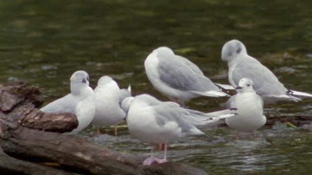 close up bonaparte's gulls preening in stream / admiralty island, alaska - 1990 stock videos & royalty-free footage