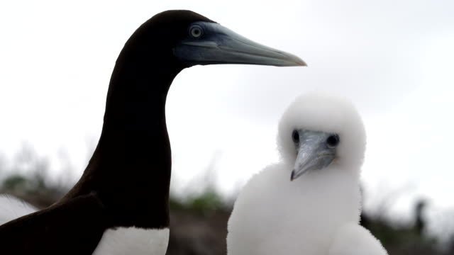 close up brown booby chick with parent - subtropical climate stock videos and b-roll footage
