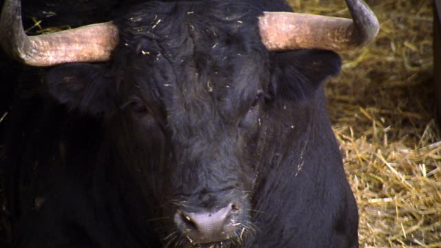 close up pan bull sitting down on hay / barcelona, spain - horned stock videos & royalty-free footage