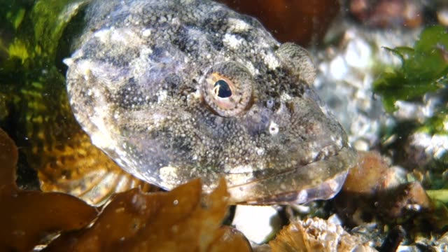 close up: bumpy textured, white and brown, big eyed fish resting on coral - bumpy stock videos & royalty-free footage