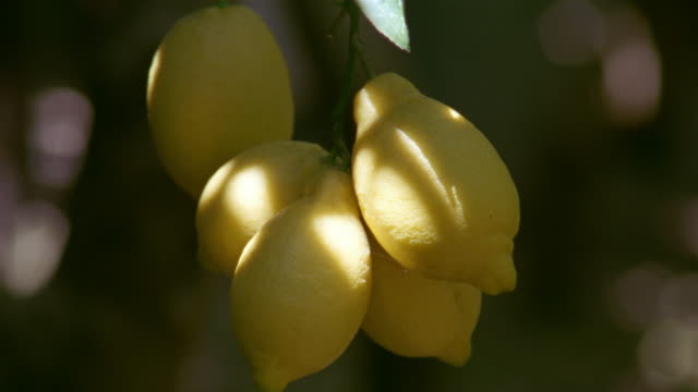 close up bunch of lemons hanging from tree in amalfi / amalfi coast, campania, italy - lemon stock videos & royalty-free footage