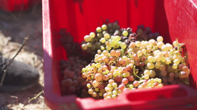 close up, bundle of grapes in catalonia vineyard - vineyard stock videos & royalty-free footage