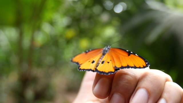 vidéos et rushes de close up/ butterfly on a hand with selective focus in slow motion - fragilité