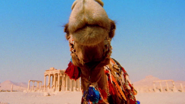 close up camel chewing and looking at cam with ancient roman ruins of palmyra in background / syria - kauen stock-videos und b-roll-filmmaterial