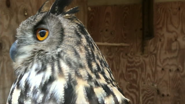close up captive longeared owl - captive animals stock videos & royalty-free footage