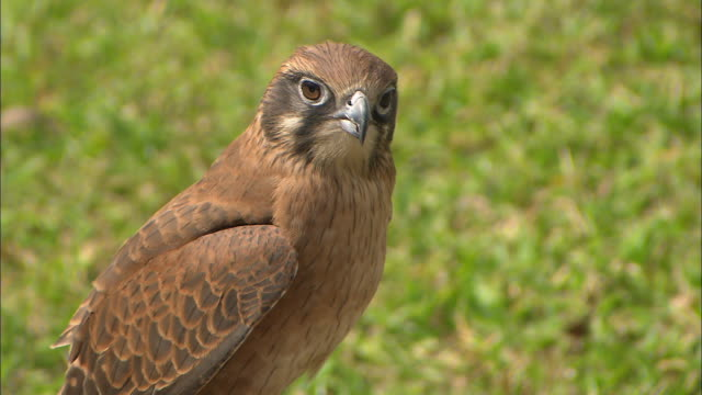 close up captive peregrine falcon tilt down to see band on foot - wanderfalke stock-videos und b-roll-filmmaterial