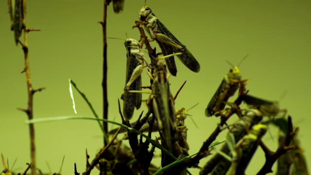 close up capture of locusts eating crops - destruction stock videos & royalty-free footage