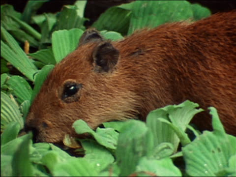 close up capybara dipping face in shallow water surrounded by large leaves / amazon rainforest - roditore video stock e b–roll