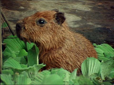 vídeos de stock, filmes e b-roll de close up capybara rooting around in large leaves in shallow water / amazon rainforest - organismo aquático