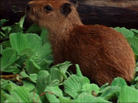 vídeos de stock, filmes e b-roll de close up capybara standing in leaves in shallow water / amazon rainforest - organismo aquático