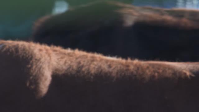 Nahaufnahme Vieh Viehzüchter zeigen und sprechen