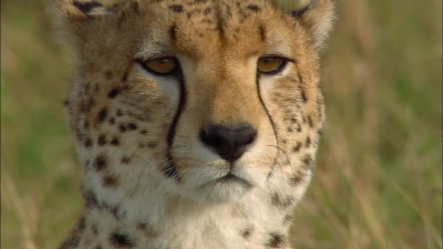 close up cheetah profile / turning and looking at cam / looking away / masai mara, kenya - cheetah stock videos and b-roll footage