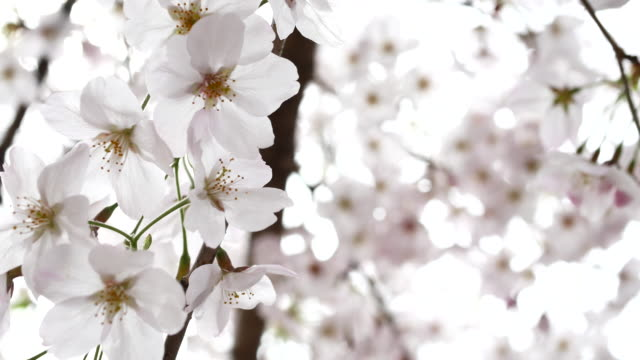 close up cherry blossoms in japan - oriental garden stock videos and b-roll footage