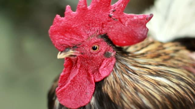 Close up chicken