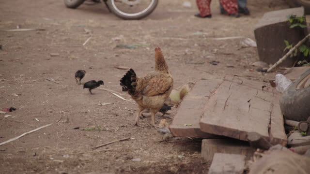 Close up Chickens in Village