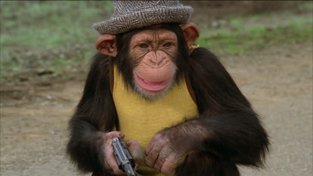 close up chimpanzee holding a gun and smiling / stockton, california - hut stock-videos und b-roll-filmmaterial