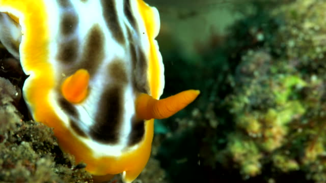 close up - chromodoris magnificant nudibranch - nudibranch stock videos & royalty-free footage