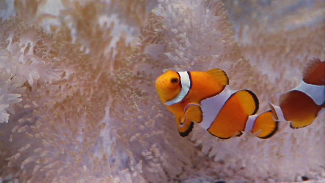 Close up clown fish swimming around coral in water / Baltimore, Maryland