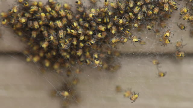 close up, cluster of spiders on web - abundance stock videos & royalty-free footage
