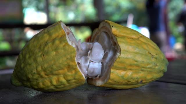 close up cocoa fruit - fagiolo video stock e b–roll
