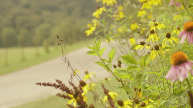 close up, coneflowers on side of road - sonnenhut stock-videos und b-roll-filmmaterial