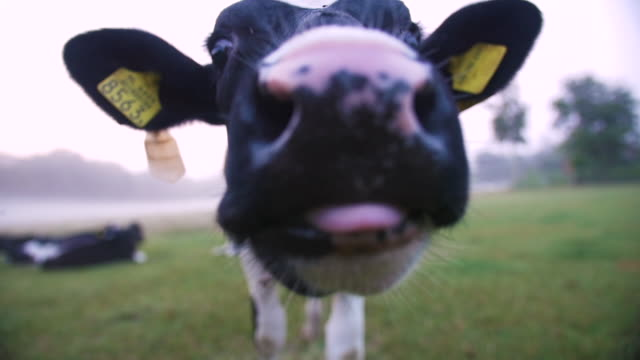 close up cow nose, muzzle, snout. beautiful sunrise with morning dew and foggy meadow in the dutch coutryside with cows grazing. nitrogen, environment. - cattle stock videos & royalty-free footage