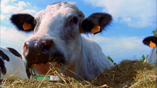 close up cow w/tags in ears grazing on hay outdoors - fieno video stock e b–roll