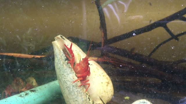 close up crayfish in aquariums - one animal stock videos & royalty-free footage