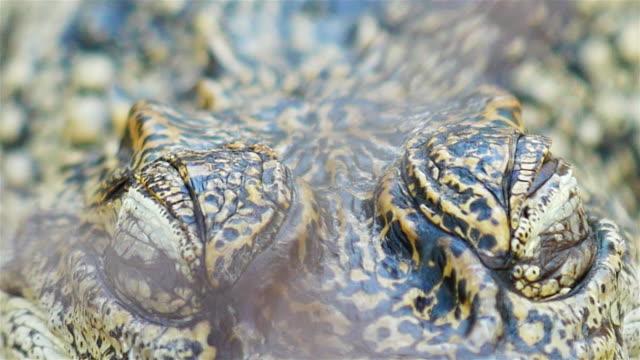nah, werden krokodil augen blinzeln oder schließen sie die augen. - echte krokodile stock-videos und b-roll-filmmaterial