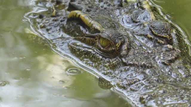 close up crocodile floating in the pond. - crocodile stock videos & royalty-free footage
