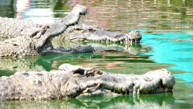 Close up Crocodile