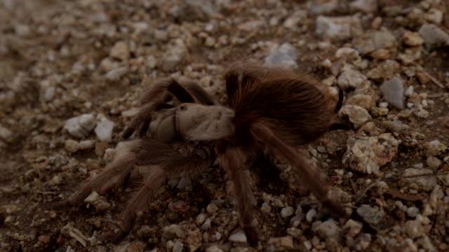 close up desert tarantula walks across desert floor - wilderness stock videos & royalty-free footage