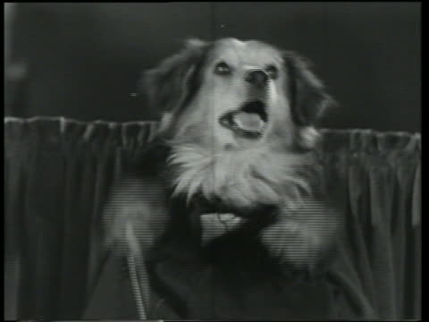 b/w 1930 close up dog in suit conducting orchestra / dogway melody - conductor stock videos & royalty-free footage
