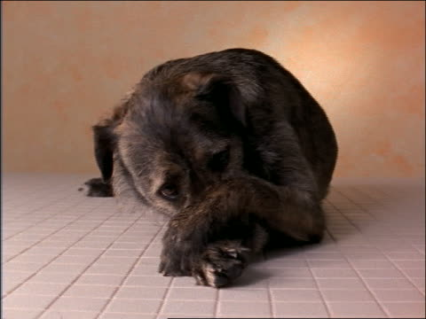close up dog lying on floor of studio / covers nose with paws - 隠れる点の映像素材/bロール
